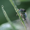 Dew-droplets on Bluetailed Damselfly