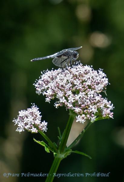 Oostelijke witsnuitlibel Leucorrhinia albifrons Dark whiteface Leucorrhine à front blanc Östliche Moosjungfer