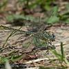 Plasrombout; Gomphus pulchellus; Gomphe gentil; Western clubtail; Westliche Keiljungfer