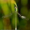 Lestes virens; Tengere pantserjuffer; Small spreadwing; Small emerald spreadwing; Kleine Binsenjungfer; Leste verdoyant
