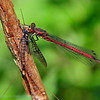 Vuurjuffer; Pyrrhosoma nymphula; Large red damselfly; Nymphe au corps de feu; Frühe Adonislibelle; Frühe Adonisjungfer