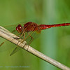 Vuurlibel; Crocothemis erythraea; Scarlet dragonfly; Crocothémis écarlate; Libellule écarlate; Feuerlibelle