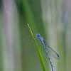 Watersnuffel; Enallagma cyathigerum; common blue damselfly; Northern bluet; Agrion portecoupe; Gemeine Becherjungfer