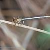 Witte breedscheenjuffer Platycnemis latipes Pennipatte blanchâtre