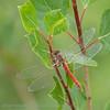 sympétrum à nervures rouges Redveined darter Frühe Heidelibelle Zwervende heidelibel Sympetrum fonscolombii