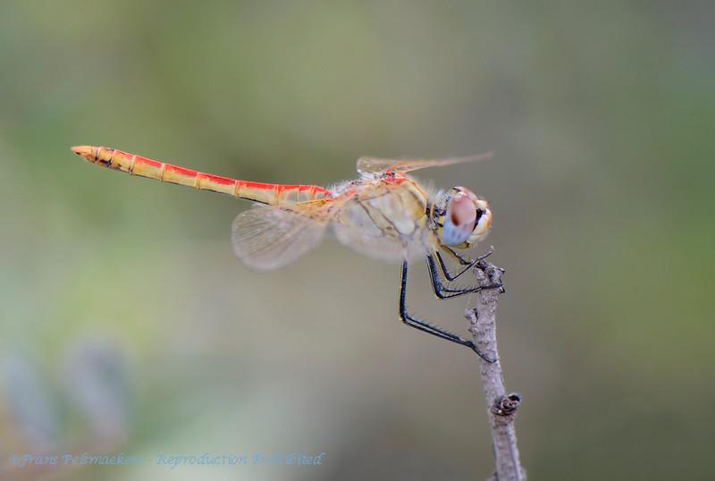 Zwervende heidelibel; Sympetrum fonscolombii; Redveined darter; Nomad; Le Sympétrum à nervures rouges; Frühe Heidelibelle