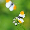 Oranjetipje; Anthocharis cardamines; l'Aurore; Aurorafalter; Orangetip