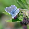 Icarusblauwtje; Polyommatus icarus; L'Argus icare; Common blue; Hauhechelblauling