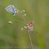 Adonisblauwtje; L'Argus Bleu Céleste; Le Bel Argus; Himmelblauer Bläuling; Adonis Blue