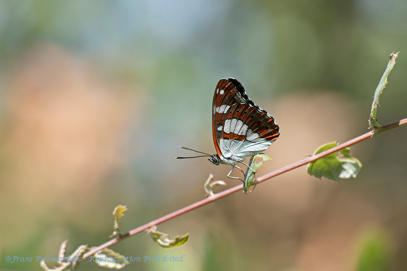 Blauwe ijsvogelvlinder; Le Sylvain Azuré; Blauschwarzer Eisvogel; Southern White Admiral; Limentis reducta