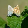 Bleek Blauwtje; L'Argus Bleu Nacré; Silbergrüner Bläuling; Chalkhill Blue; Polyomattus coridon