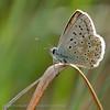 Bleek; Blauwtje; Bleek Blauwtje; L'Argus Bleu Nacré; Silbergrüner Bläuling; Chalkhill Blue; Polyomattus coridon
