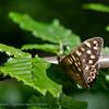 Bont Zandoogje; Pararge aegeria; Le Tircis; Laubfalter; Waldbrettspiel; Speckled Wood