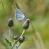 Boomblauwtje; L'Argus à Bande Noire; Faulbaumbläuling; Holly Blue; Celastrina argiolus