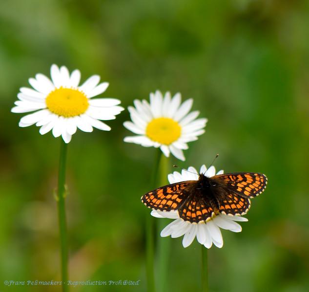 Bosparelmoervlinder; Melitaea athalia; Heath fritillary; Mélitée du mélampyre; Damier Athalie; WachtelweizenScheckenfalter