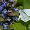 Boswitje; Leptidea sinapis; Wood white; Senfweißling; Piéride de la moutarde; Piéride du lotier