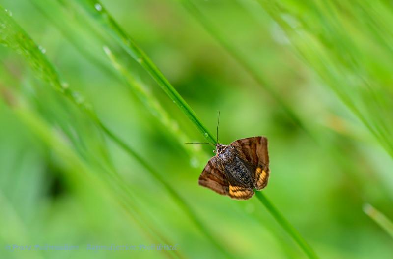 Bruine daguil; Euclidia glyphica; Burnet companion moth; Braune Tageule; Doublure jaune