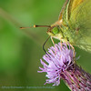 Gele luzernevlinder; Colias hyale; Le Soufré; Gemeiner Heufalter; Pale clouded yellow