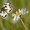 Dambordje; Melanargia galathea; Schachbrett; Schmetterling; marbled white; Demideuil; Échiquier; Arge galathée