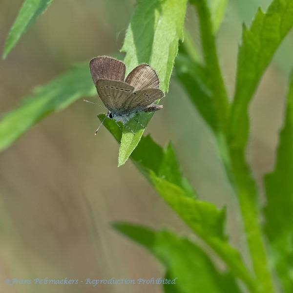 Dwergblauwtje; Cupido minimus; Small blue; Argus frêle; ZwergBläuling