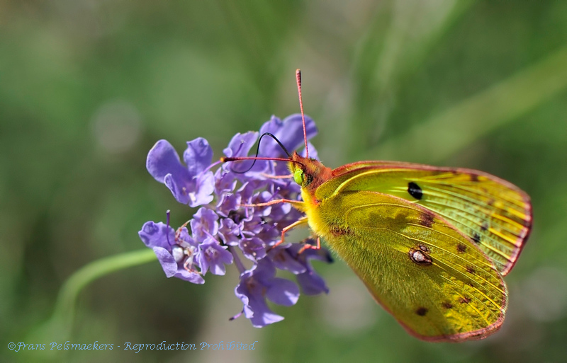Luzernevlinder; Gele luzernevlinder; Colias hyale; Pale clouded yellow; Soufré; Goldene Acht