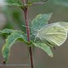 Groot Koolwitje; Pieris brassicae; Piéride du Chou; Grosser Kohlweissling; Large White