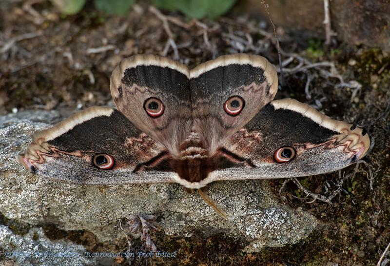 Grote nachtpauwoog; Saturnia pyri; Giant peacock moth; Giant emperor moth; Grand paon de nuit; Wiener Nachtpfauenauge
