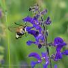 Hommelvlinder;  Narrowbordered bee hawkmoth; Hemaris tityus; Sphinx bourdon; Skabiosenschwärmer