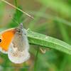 Hooibeestje; Coenonympha pamphilus; Le Procris; Kleines Wiesenvögelchen; Small Heath