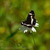 Kleine ijsvogelvlinder; Limenitis camilla; White Admiral; Petit sylvain; Kleiner Eisvogel