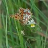 Kleine Parelmoervlinder; Issoria lathonia; Le Petit Nacré; Kleiner Perlmutterfalter; Queen of Spain Fritillary