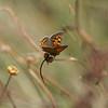 Kleine vuurvlinder; Lycaena phlaeas; Small copper; Common copper; Cuivré commun; Bronzé; Kleiner Feuerfalter