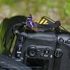 Kleine weerschijnvlinder; Lesser Purple Emperor; Kleiner Schillerfalter; Petit mars changeant; Apatura ilia clythie