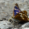 Kleine weerschijnvlinder; Apatura ilia; Lesser Purple Emperor; Kleiner Schillerfalter; Petit mars changeant; Apatura ilia clythie
