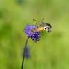 Kolibrievlinder; Macroglossum stellatarum; Hummingbird hawkmoth; Moro sphinx; Sphinx colibri; Sphinx du caillelait; Taubenschwänzchen