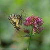 Koninginnepage; Papilio machaon; Schwalbenschwanz; Swallowtail; Le grand portequeue; Machaon