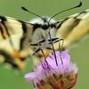 Koningspage; Iphiclides podalirius; Segelfalter; Scarce swallowtail; Flambé