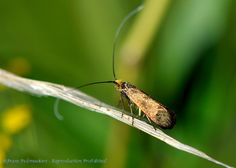 Koperkleurige langsprietmot; Nemophora cupriacella