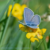 Kroonkruidblauwtje; Plebejus argyrognomon; Reverdin's blue; Azuré des coronilles; KronwickenBläuling