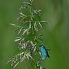 Metaalvlinder; Adscita statices; Green forester; Procris de l'oseille; Turquoise; AmpferGrünwidderchen
