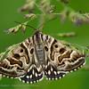 Mivlinder; Euclidia mi; Mother Shipton Moth; ScheckTageule; M noir