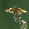 Moerasparelmoervlinder; Euphydryas aurinia; Marsh fritillary; Damier de la succise; Damier des marais; SkabiosenScheckenfalter