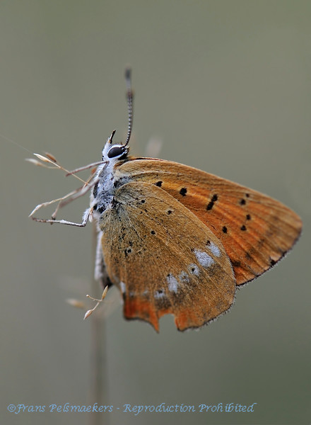 Morgenrood; Lycaena virgaureae; l'Argus Satinée; Dukatenfalter; Scarce Copper