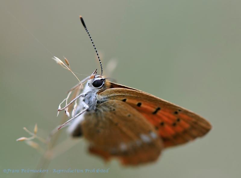 Morgenrood; Lycaena virgaureae; l'Argus Satinée; Dukatenfalter; Scarce Copper