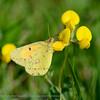 Oranje Luzernevlinder; Colias croceus; Wandergelbling; Postillon; Clouded Yellow; Le Souci