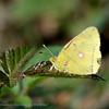 Oranje; Luzerne; Oranje Luzernevlinder; Colias croceus; Wandergelbling; Postillon; Clouded Yellow; Le Souci