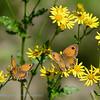 Oranje Zandoogje; Pyronia tithonus; L'Amaryllis; Rostbraunes Ochsenauge; Gatekeeper; Hedge Brown