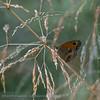 Amaryllis; Oranje Zandoogje; Pyronia tithonus; L'Amaryllis; Rostbraunes Ochsenauge; Gatekeeper; Hedge Brown