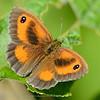Oranje zandoogje; Pyronia tithonus; Gatekeeper; hedge brown; Amaryllis; Satyre tithon; Titon; Rotbraunes Ochsenauge