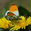 Oranjetip; Oranjetipje; Anthocharis cardamines; l'Aurore; Aurorafalter; Orangetip